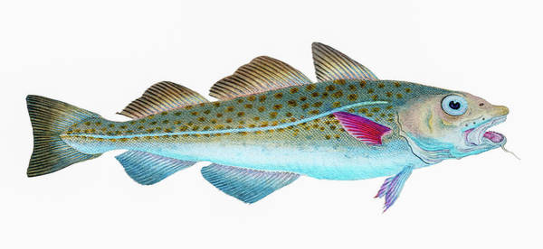 Drawing - Atlantic Cod  by David Letts