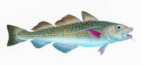 Atlantic Ocean Drawing - Atlantic Cod  by David Letts