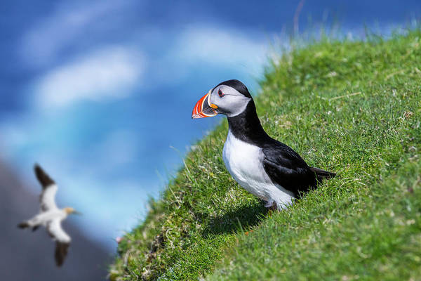 Photograph - Atlantic Puffin And Gannet by Arterra Picture Library