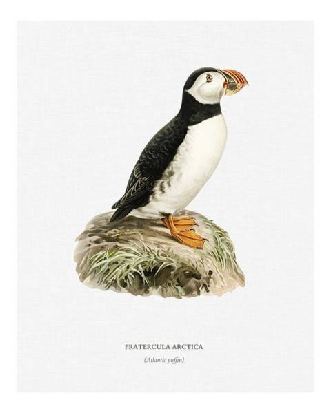 Wall Art - Painting - Atlantic Puffin  Fratercula Arctica  Illustrated By The Von Wright Brothers.  1929 Folio Version Of  by Celestial Images