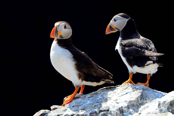 Reserve Wall Art - Photograph - Atlantic Puffins, Farne Islands Nature by Attila Jandi