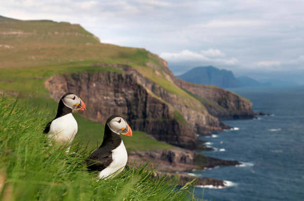 Selective Focus Photograph - Atlantic Puffins On Mykines by Life On White