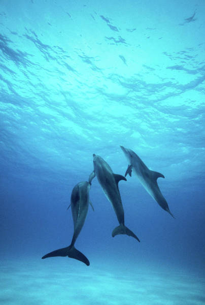 Underwater Photograph - Atlantic Spotted Dolphins Underwater by Stuart Westmorland