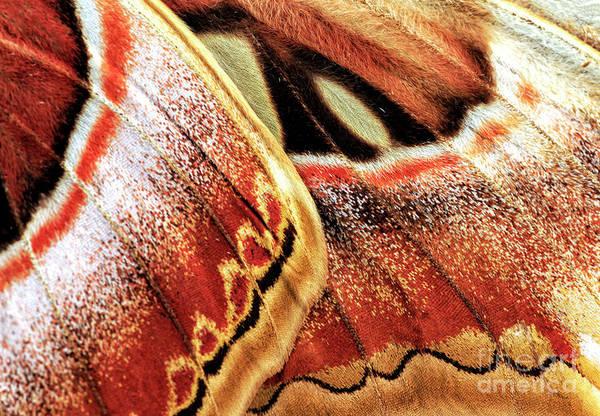 Photograph - Atlas Moth Wing Details by John Rizzuto