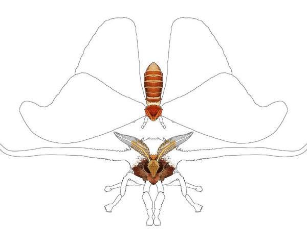 Drawing - Atlas Moth Progress 1 by Joan Stratton