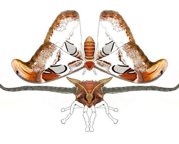 Drawing - Atlas Moth2 by Joan Stratton