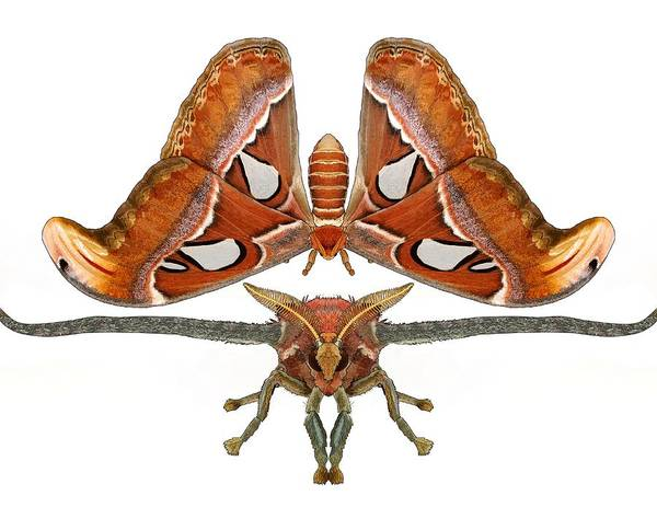 Drawing - Atlas Moth White Background by Joan Stratton