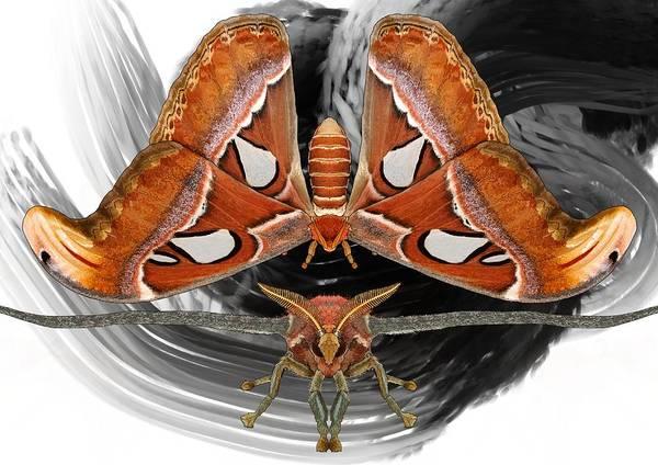 Drawing - Black Swirl Atlas Moth by Joan Stratton