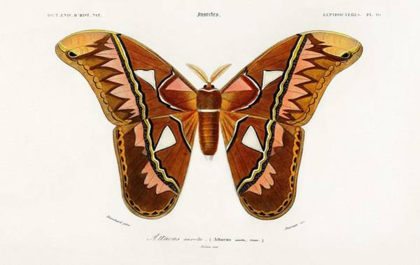 Wall Art - Painting - Attacus Atlas Moth  Attacus Aurora Illustrated By Charles Dessalines D Orbigny  1806-1876   by Celestial Images