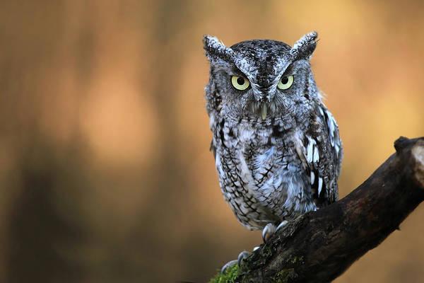 Screech Owl Photograph - Attitude Adjustment by Mlorenzphotography