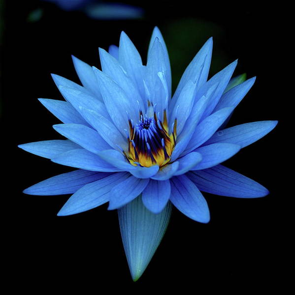 Stamens Photograph - Attractive Blue, Waterlily by I Love Photo And Apple.