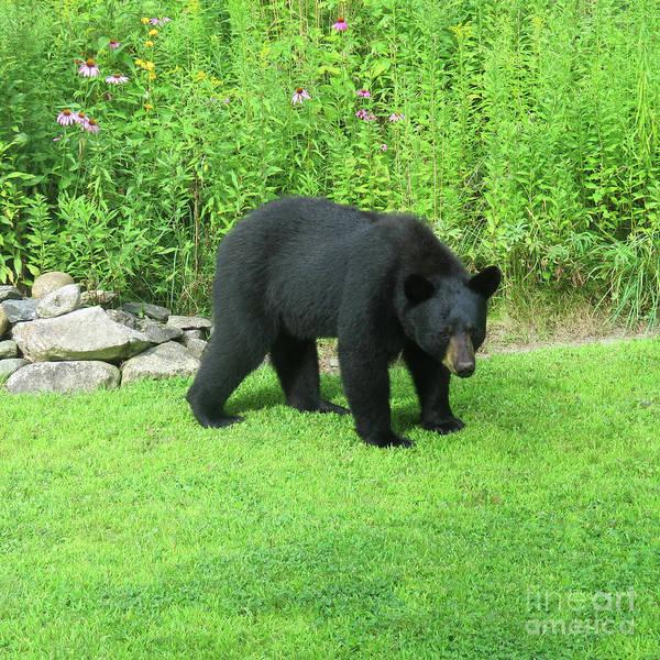 Photograph - August Bear 3 by Amy E Fraser