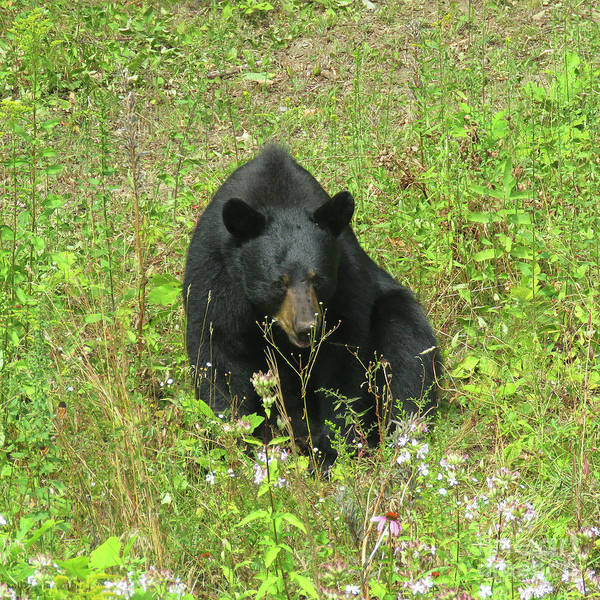 Photograph - August Bear 6 by Amy E Fraser