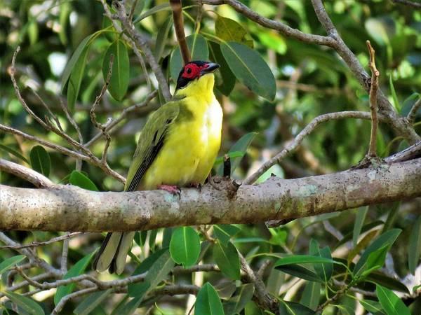 Photograph - Australasian Figbird by Joan Stratton