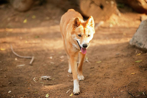 Photograph - Australian Dingo by Rob D Imagery