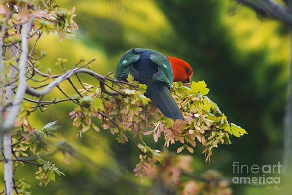 Photograph - Australian King Parrot by Joy Watson