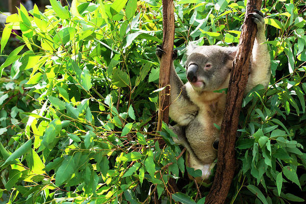 Photograph - Australian Koala Resting During The Day. by Rob D Imagery