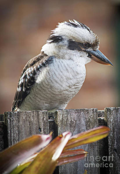 Photograph - Australian Kookaburra by Russell Brown