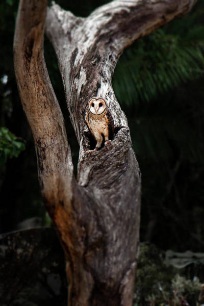 Photograph - Australian Masked Owl by Rob D Imagery