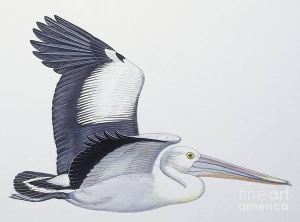 Avian Drawing - Australian Pelican  Pelecanus Conspicillatus by American School