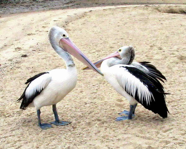 Photograph - Australian Pelicans by Anthony Dezenzio