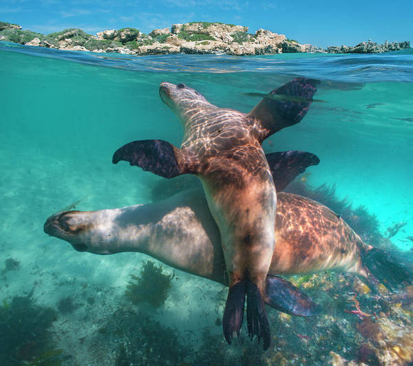 Wall Art - Photograph - Australian Sea Lion Pair, Coral Coast by Tim Fitzharris