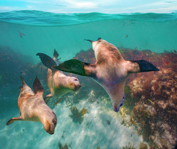 Wall Art - Photograph - Australian Sea Lion Trio, Coral Coast by Tim Fitzharris