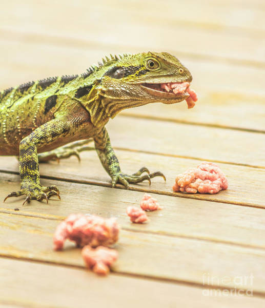 Lizard Photograph - Australian Water Dragon by Jorgo Photography - Wall Art Gallery