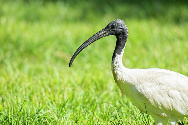 Photograph - Australian White Ibis by Rob D Imagery