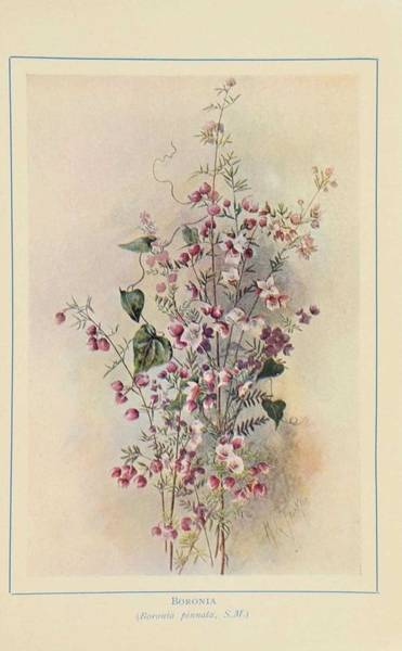 Wall Art - Painting - Australian Wild Flowers 5 by Celestial Images