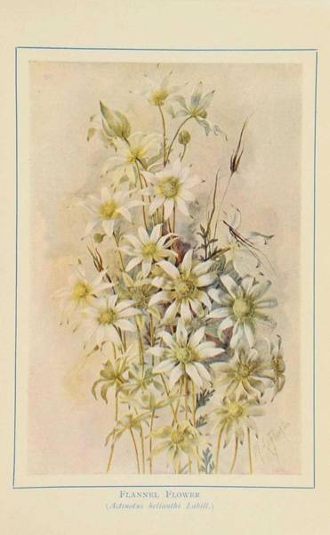 Wall Art - Painting - Australian Wild Flowers 7 by Celestial Images