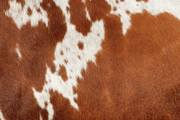 Cowhide Wall Art - Photograph - Authentic Cowhide by Cgbaldauf