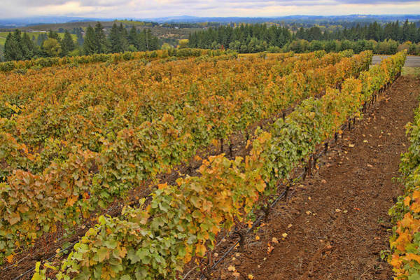 Camera Raw Photograph - Autumn Among Vines by Brenton Cooper