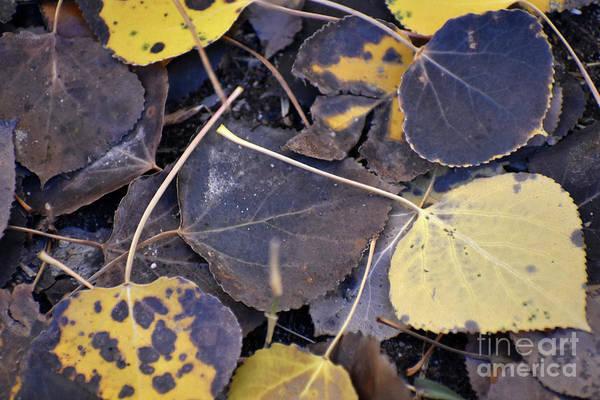 Photograph - Autumn Aspen Leaves Farewell by Rose De Dan