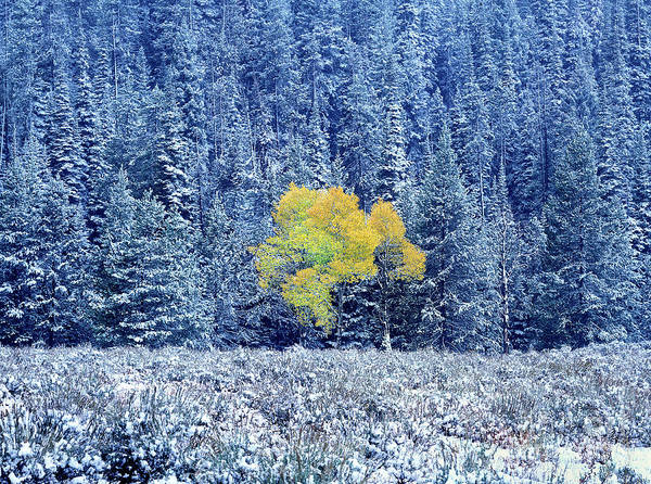 Photograph - Autumn Aspen Snowstorm Grand Tetons Natio by Dave Welling
