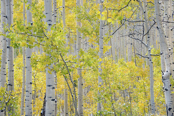 Photograph - Autumn Aspens 11 by Leland D Howard