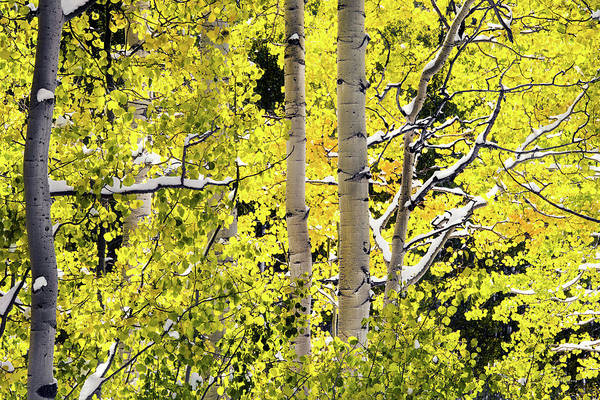 Photograph - Autumn Aspens 3 by Leland D Howard