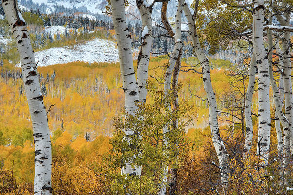 Late Autumn Wall Art - Photograph - Autumn Aspens 9 by Leland D Howard