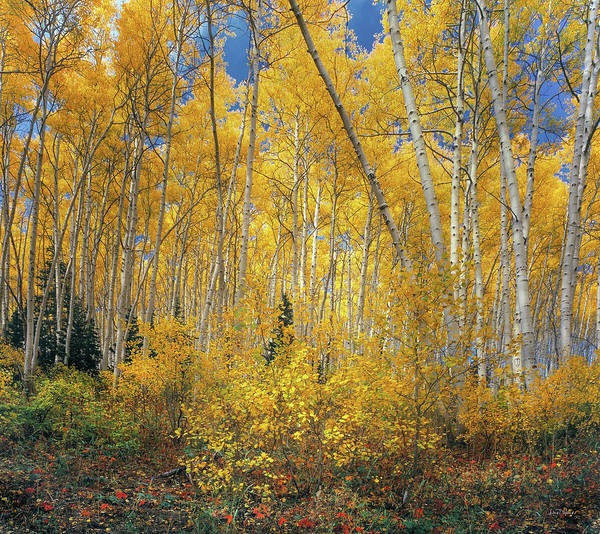 Photograph - Autumn Aspens by Leland D Howard
