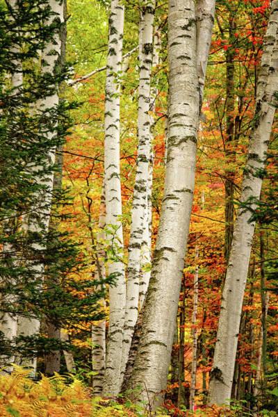 Photograph - Autumn Birch by Jeff Sinon