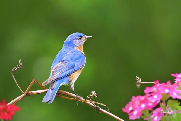 Photograph - Autumn Bluebird by Christina Rollo