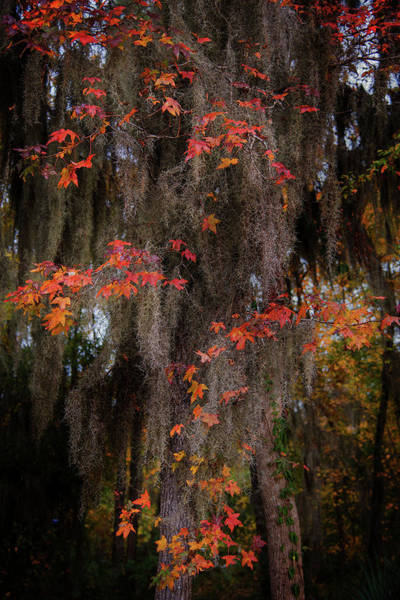 Photograph - Autumn Color In Spanish Moss by Bud Simpson