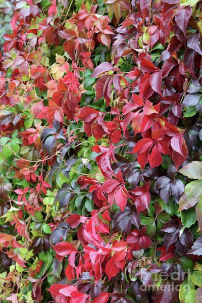 Photograph - Autumn Color Virginia Creeper by Carol Groenen