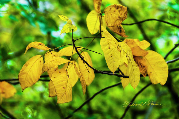 Photograph - Autumn Color Yellow by Edward Peterson