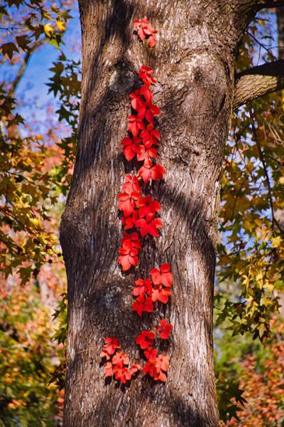 Wall Art - Photograph - Autumn Creeper by Linda Brown