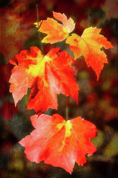 Wall Art - Photograph - Autumn Crimson Splendor by Dan Carmichael