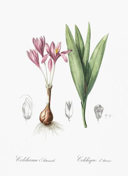 Wall Art - Painting - Autumn Crocus Illustration From Les Liliacees  1805  By Pierre Joseph Redoute   1759-1840  by Celestial Images