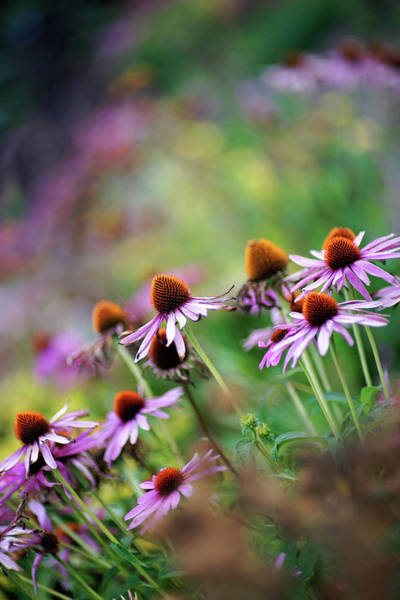 Head Tilt Photograph - Autumn Echinacea by By Kelly Sereda © 2011