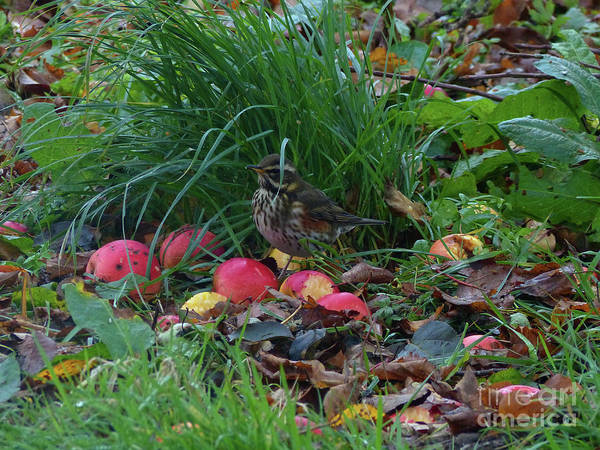 Photograph - Autumn Feast For A Redwing by Phil Banks