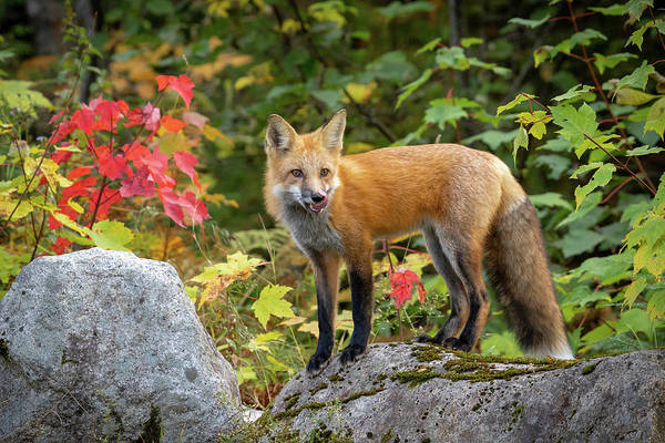 Photograph - Autumn Fox by Colin Chase